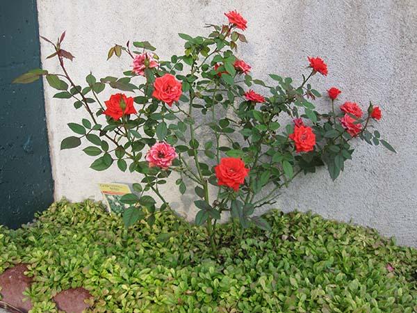 Черенкование роз осенью в домашних условиях видео