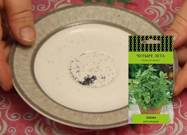 Как выращивать мяту в домашних условиях в горшках?