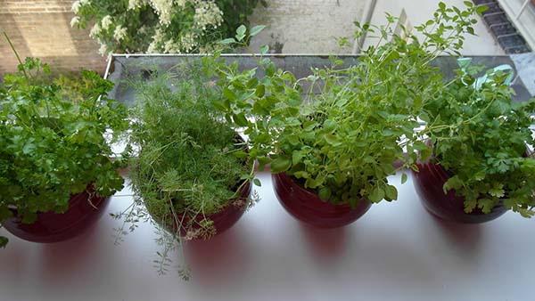 Как дома выращивать зелень на подоконнике круглый год?