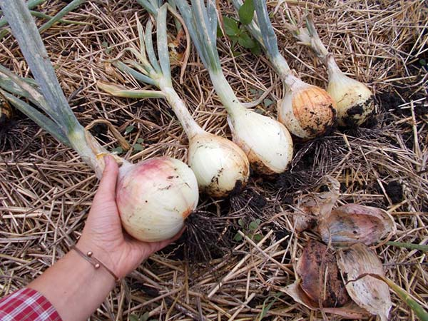 Лук Эксибишен – выращивание через рассаду и семенами в грунт