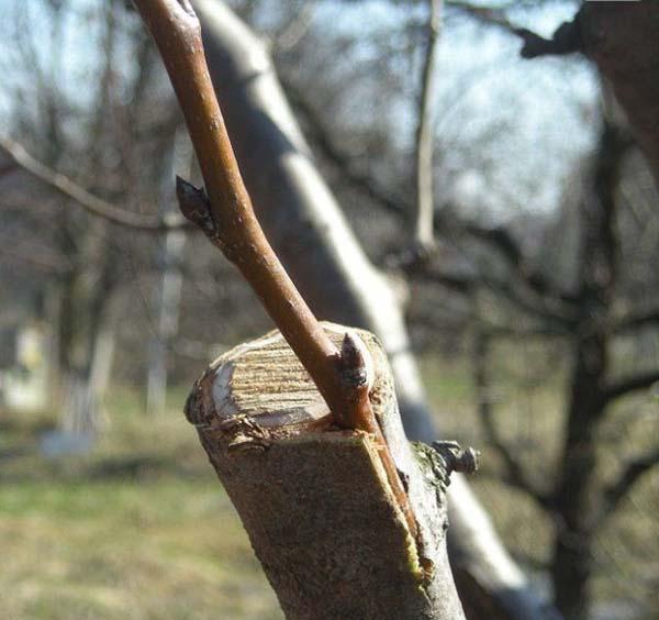 Как привить яблоню в расщеп
