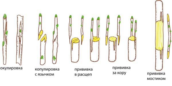 Абрикос посадка и уход обрезка и прививка