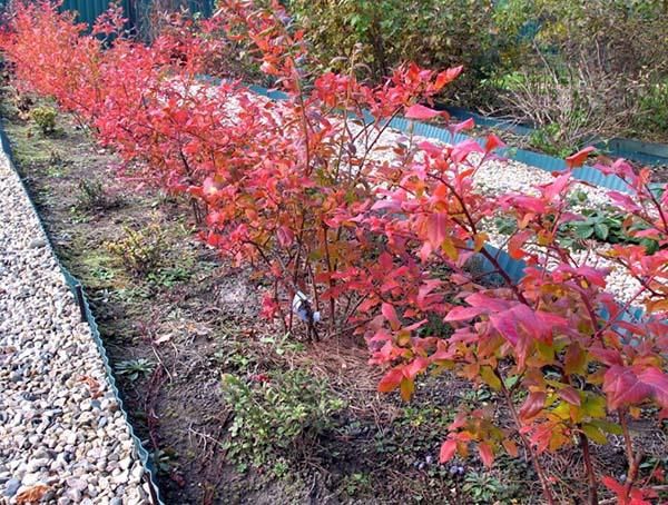 Чем подкормить голубику садовую осенью