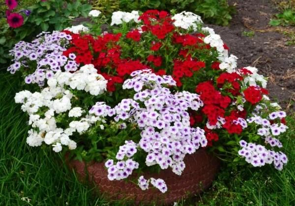 флокс однолетний выращивание из семян в домашних