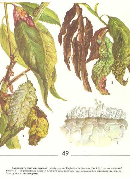 Как вылечить курчавость листьев персика