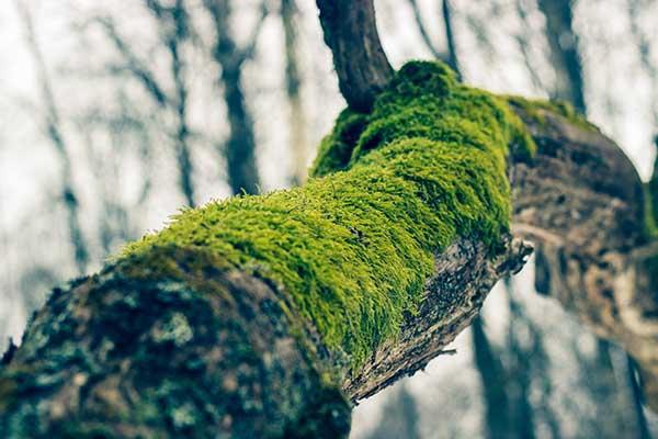 Как избавиться от мха на деревьях
